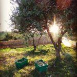 Foto della raccolta delle olive